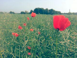 flower field summer red