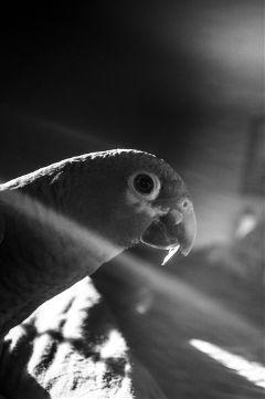 black & white pets & animals pedro parrot bird