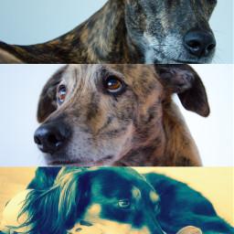 adoptdontshop erinhounds greyhounds lurchers saluki