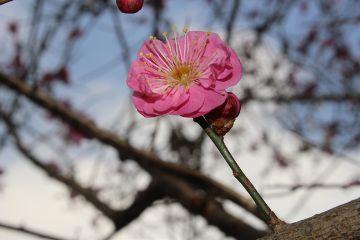 japan nature sky ume japaneseplum